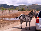 Safari-Zoo Zebra